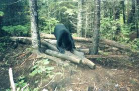 bear over log