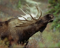 moose-hunting-009c