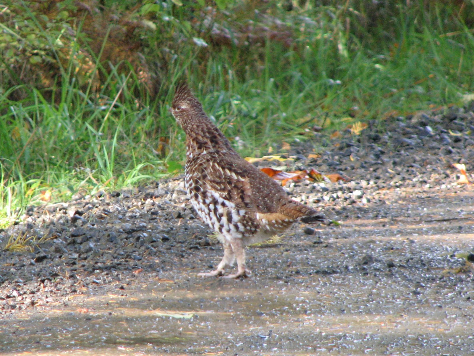 Grouse Hunting Picture And Images