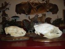 Andy's 2010 skull and 2012 skull
