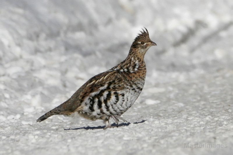 bird brained ruffed grouse in the winter on target in canada