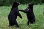Bear fight in New Jersey (video)