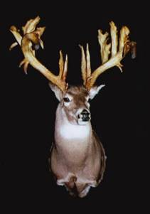 """The Alexander McDonald Buck"" taken in 1960 in Nova Scotia with a modern Rifle. (Currently owned by Bass Pro Shops) 35 Points on an 11 point frame."
