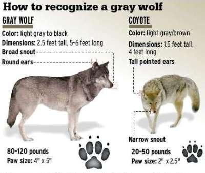 Identify a Wolf