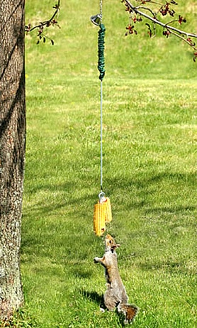 squirrel-bungee-cord-feeder-1664 - Copy