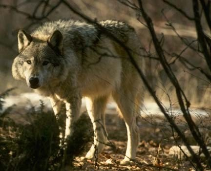 HUNT the HUNTER –  Ontario's Timber Wolf
