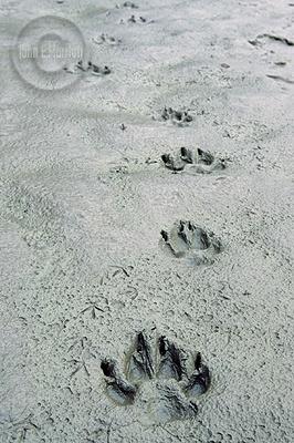 wolf-track-wawang-lake