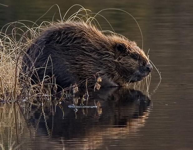 Beaver_pho34