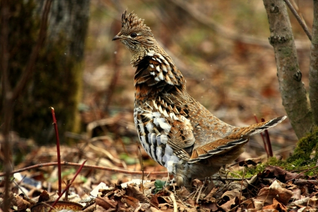 TIPS for Hunting Grouse Without a Dog + video