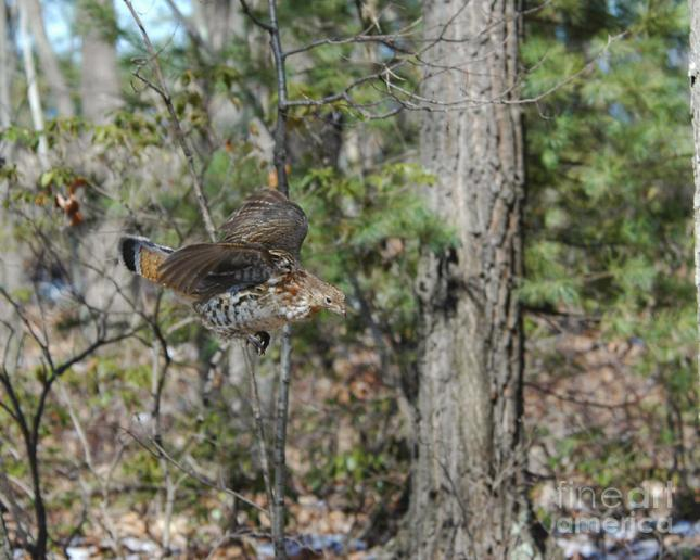 ruffed-grouse-flying-down-from-limb-timothy-flanigan