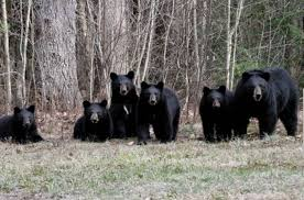 multiple bear