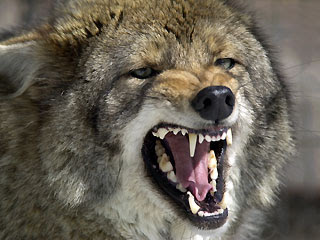 coyote_snarl