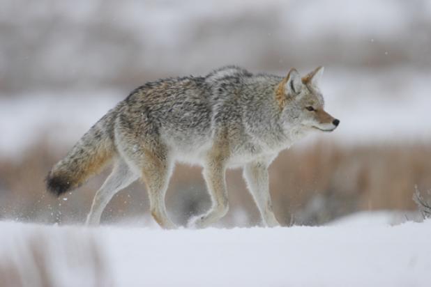 coyote1edit