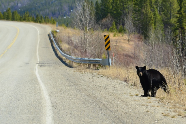 Black-Bear-crossing-the-Alaska-Highway